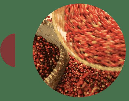 Cereza de café de Sumatra Lintang