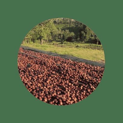 Cerezas de café en Etiopía Sidamo Nansebo