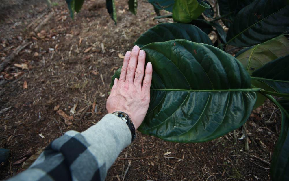 Plantación-Liberica